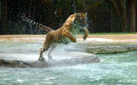 Прыжок тигра через реку