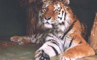 Тигр в неволе