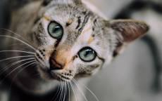 Трехцветная кошка, кошка, зеленые кошачьи глаза