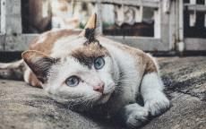 Кот лежит на земле, три цвета, голубые глаза