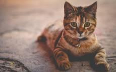 Кошка лежит, взгляд, ошейник, трехцветная кошка