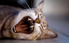 Зевок кошки, кошачьи клыки, усы кошки, сон