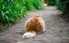 Рыжий кот в засаде, тропинка, зеленая трава