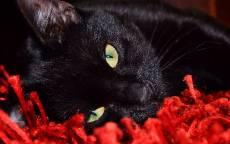 Черный кот лежит на красном ковре