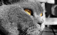 Серый злой кот
