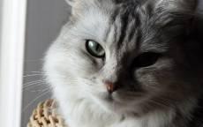 Домашняя серая пушыстая кошка
