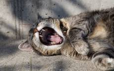 Кот в ошейнике зевает