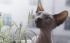 Кошка породы сфинкс нюхает траву