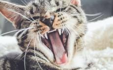 Котенок, зевок, зубы, язык, сон, усы