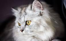 Пушистый кот с желтыми глазами
