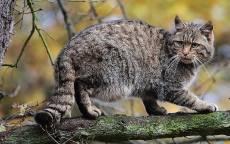 Дикая лесная кошка на дереве