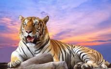 Могучий тигр отдыхает