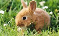 Рыжий пушистый крольчонок в зеленой траве