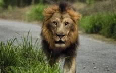Лев на дороге, зеленая трава