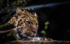 Природа, ягуар, лежит, охота, хищник, дерево