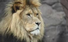 Лев, грива, взгляд, каменная стена