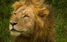 Лев, голова, грива, желтые глаза, зеленая трава