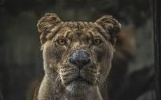 Львица, джунгли, взгляд