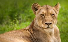 Львица, желтые глаза, зеленая трава, хищник, отдых