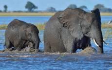 Слониха со слоненком купаются в реке