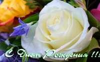 Открытка с Днем Рождения Белая роза