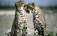 Влюбленные Гепарды