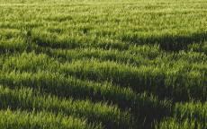 зеленое поле, зеленая трава