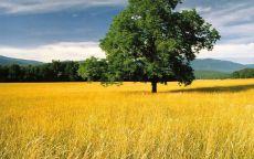 Зеленое дерево в жёлтом поле