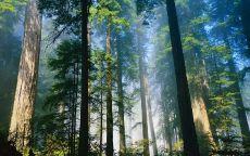 Сосновый бор в тумане