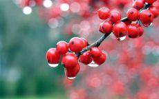 Красная рябина под дождем