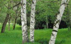 Три березы в зеленном лесу