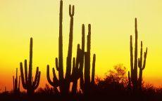 Кактусы в пустыне Аризона