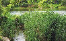 Высокая трава на берегу реки