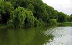 Ива на берегу реки