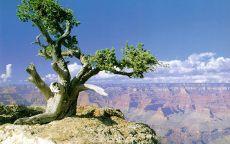 Одинокое дерево в Большом каньоне