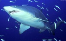 Тигровая песчаная акула
