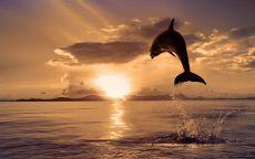 Прыжок дельфина на фоне заката.