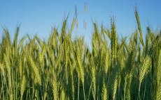 Колосья, пшеница, рожь, зеленый, урожай, хлеб