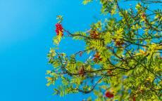 Голубое небо, красная ребина, зеленые листья
