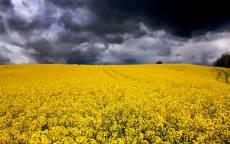 Поле, желтые цветы, черные тучи, перед грозой