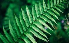 Папоротник, растение, зеленый лист