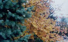 Осеннее дерево среди елей