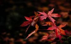 осенние красные кленовые листки