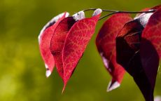 Красные листья в инеи