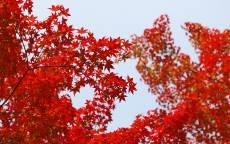 Осень, красные листья, ветки, серое небо