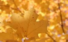 Осень, желтый лист, кленовый лист, деревья, парк, лес