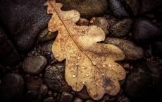 Желтый дубовый лист, капли дождя на листе, камни