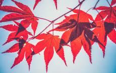 Осень, красные листья, голубое небо, листья клена