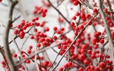 Красная ягода, красная калина, дерево, ветки, осень