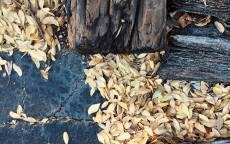 Осень, желтые листья лежат на земле, старое дерево